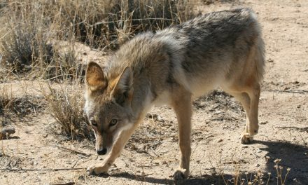 A Coyote Stalker