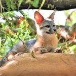 Kit Fox – Family Friendly