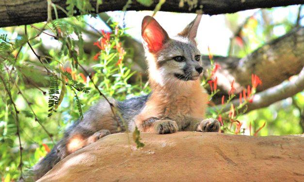 Kit Fox – Family Friendly